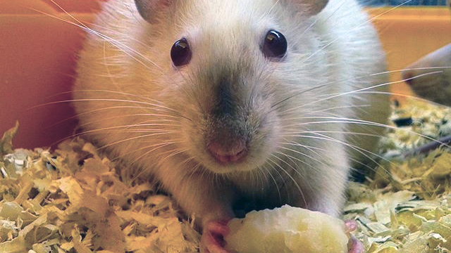 mouse-eating-cheese