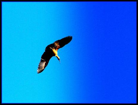 eagle - Copy